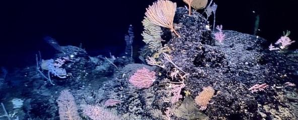 """中国远洋综合科考船""""科学""""号在马里亚纳海沟发现多处罕见""""海底花园"""""""