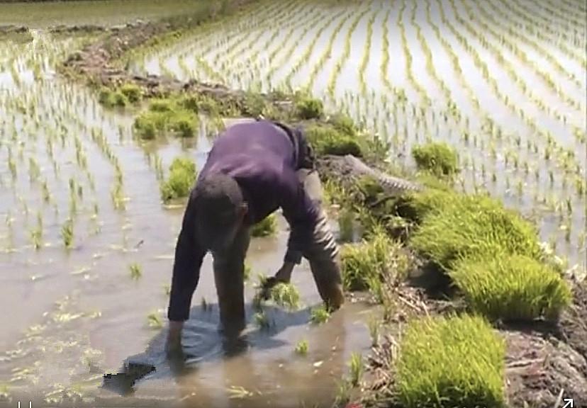 前郭县八郎镇加强田间管理 确保水稻高产质优