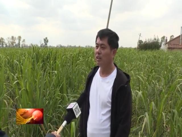 前郭灌区国营红旗农场引进种植茭白获得丰收
