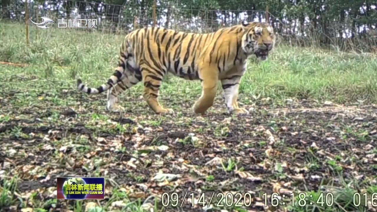东北虎豹国家公园进入发展新阶段